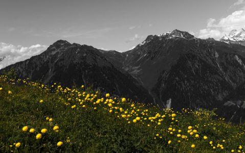 Richesse florale d'altitude. Population de trolles à 2000 m, sur la pente des Grands Plans