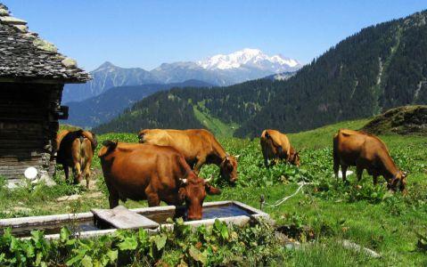 Vaches tarines en alpage (le Mont Blanc en arrière-plan)